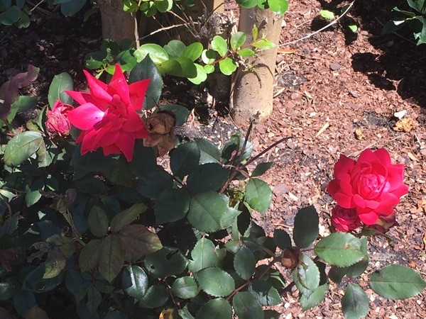 Knockout Roses. Trust me, if I can grow them so can you